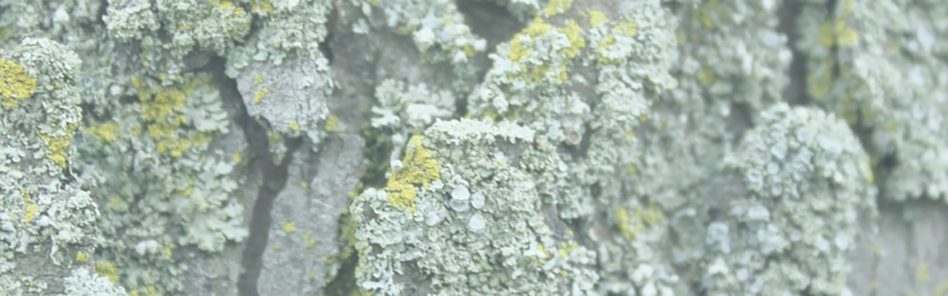 banner_slice-of-lichen-on-treebark-1-orig.20210524135724.jpg